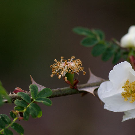Rosa-sericea-pteracanthaspent-bloom