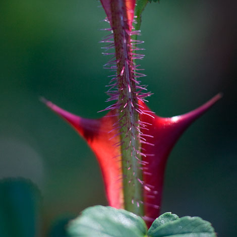 Rosa-sericea-pteracantha-red-thorn