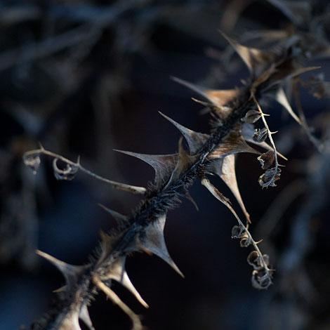 Rosa-sericea-pteracantha-dead-wood