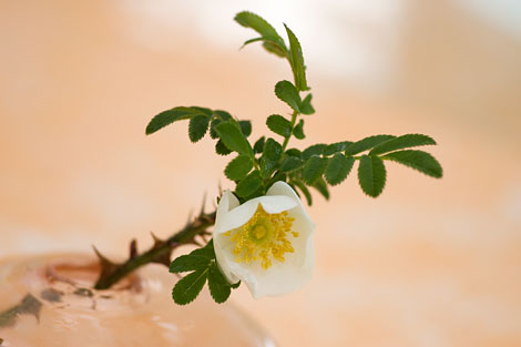 Rosa-sericea-pteracantha-bud-vase