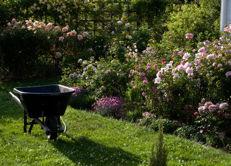 Wheel-barrow-and-roses
