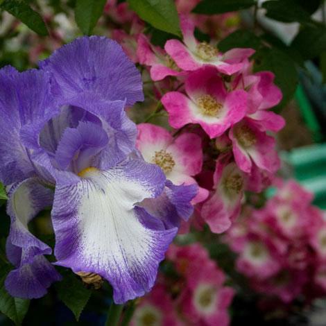 Iris-and-rose