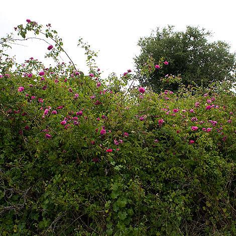 Rose-hedge
