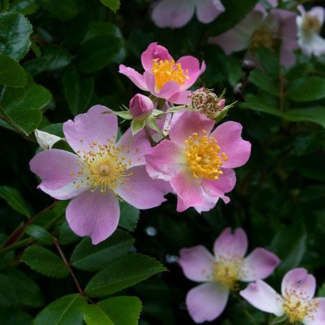 Pink-single-rose