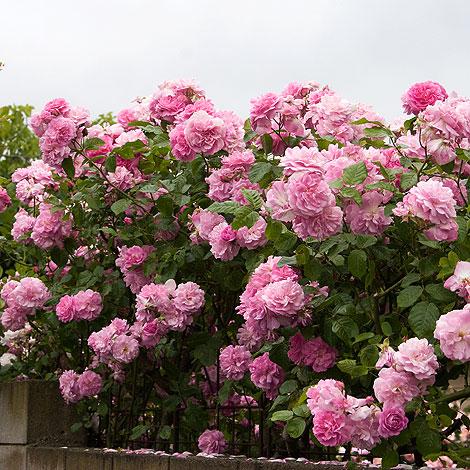 Pink-climbing-roses