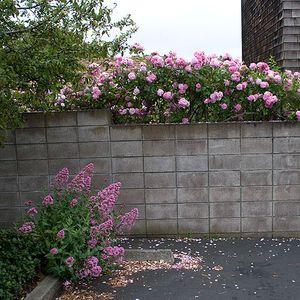 Parking-lot-roses