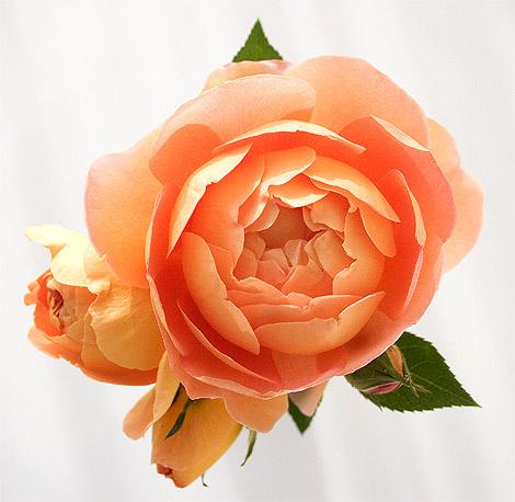 Pat-austin-rose