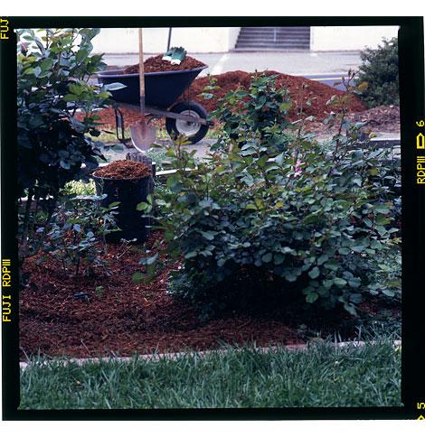 4-mulching-roses