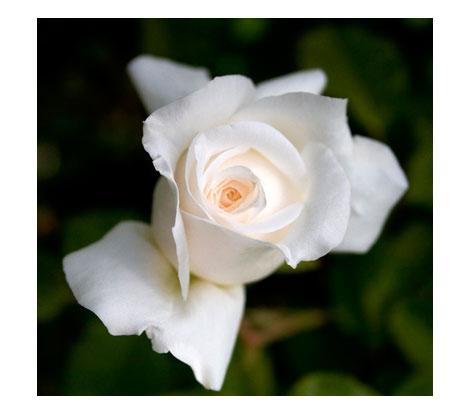 Rose-place-garden-design