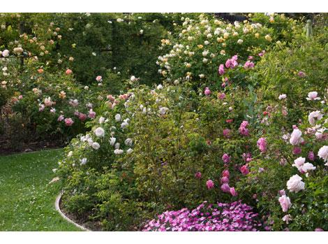 Pastel-rose-garden