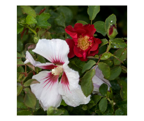 Rose-and-hibiscus