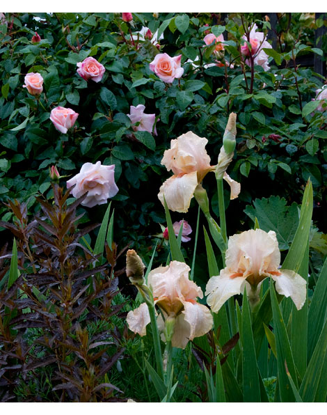 Iris-and-roses