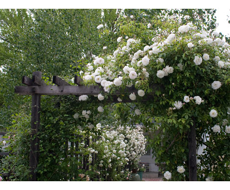White-rose-arch