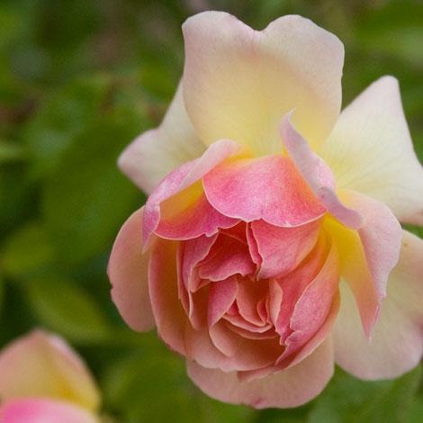 Phyllis-bide-rose