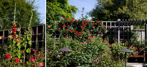 Hollyhocks-and-roses