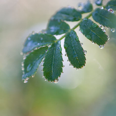 Rosa-sericea-pteracantha-leaves