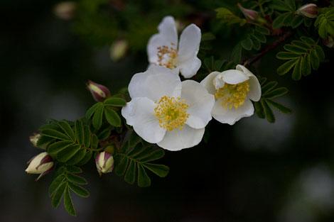 R-sericea-rose