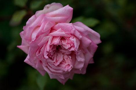 Maman-cochet-tea-rose