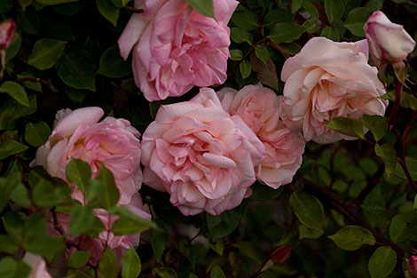 G-nabonnand-rose