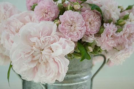 Centifolia-Roses