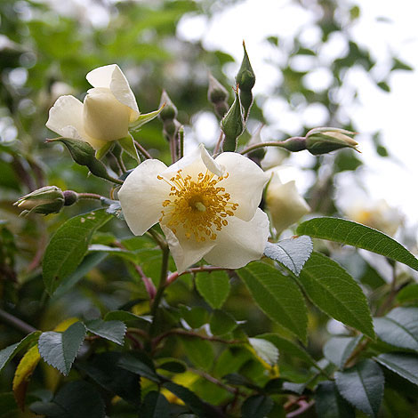 The-musk-rose