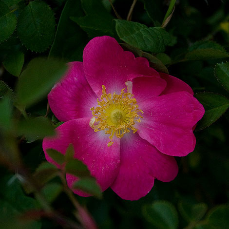 Bright-pink-single-rose