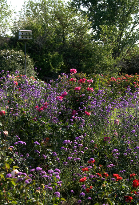Verbena bonariensis and roses