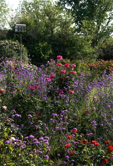 Verbena bonariensis and roses