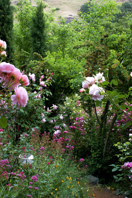 Pamela Temple rose garden 1