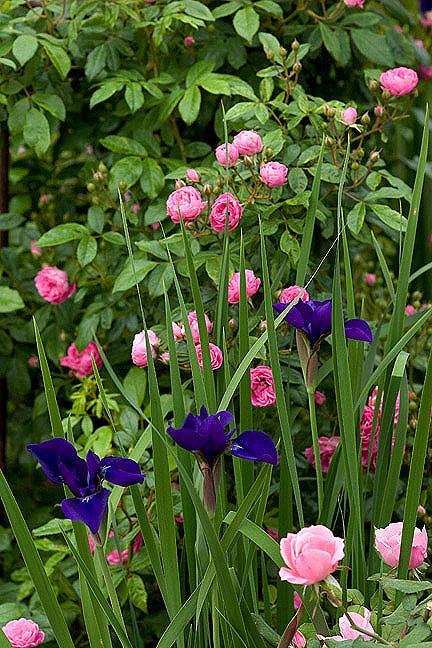 Iris&roses
