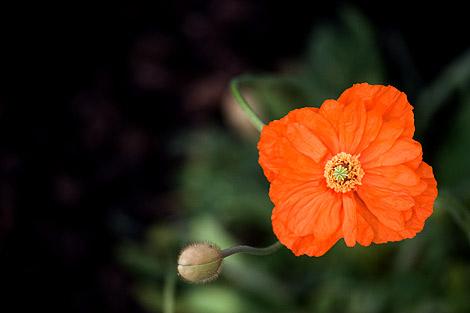 Perennial-poppy