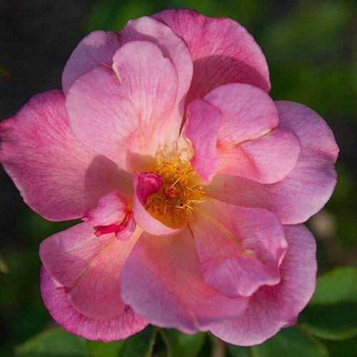 Fl-rose