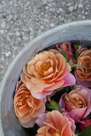 Distant-drums-rose-in-bucket