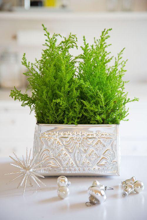 Christmas-cypress