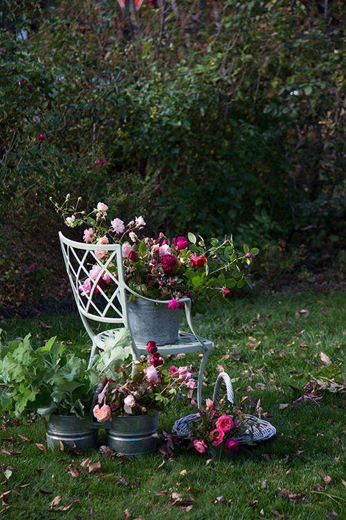 Last-rose-harvest