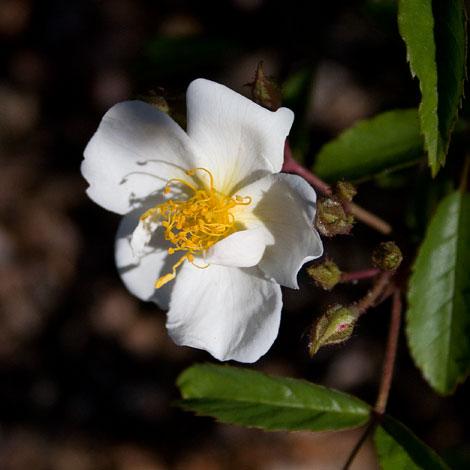 Marin-rose