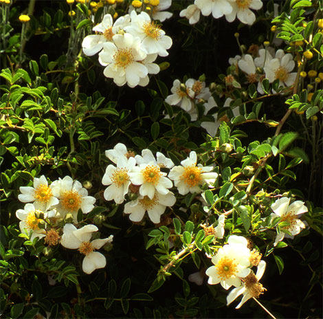 Oregon-wild-rose