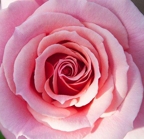 Florida-pink-rose