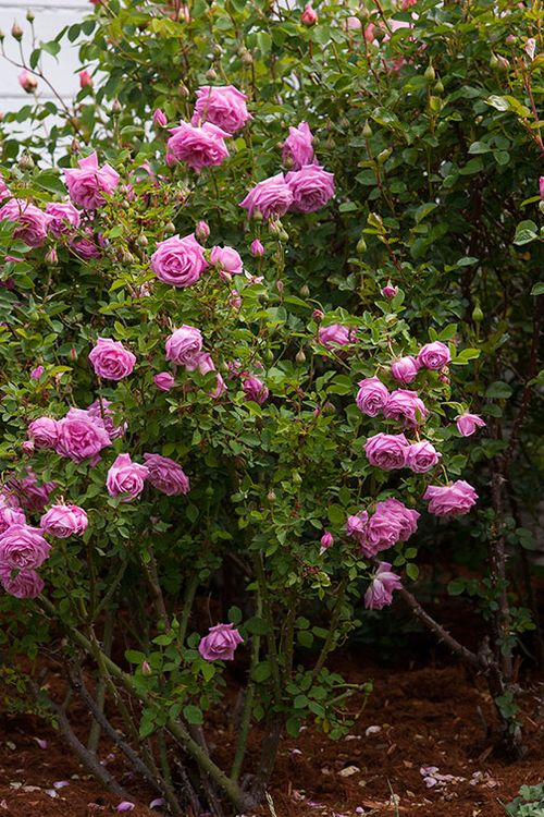 Hermosa-rose-bush
