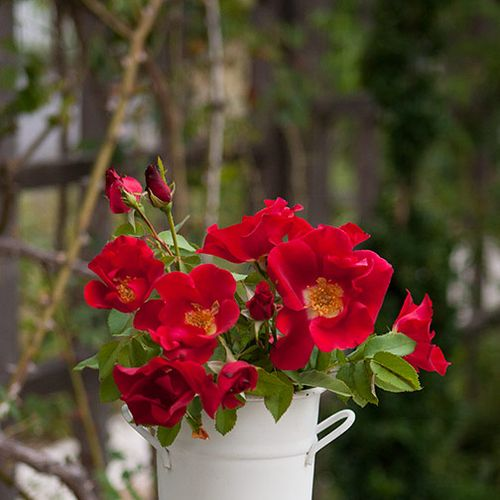 Redcoat-rose