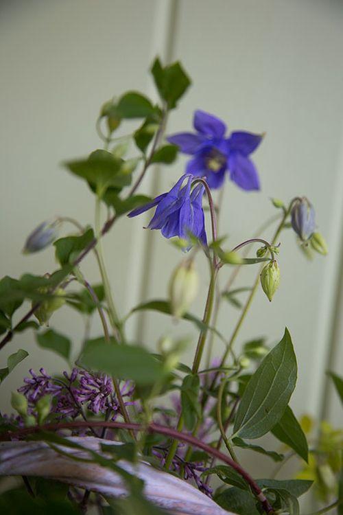 Purple-aquilegia