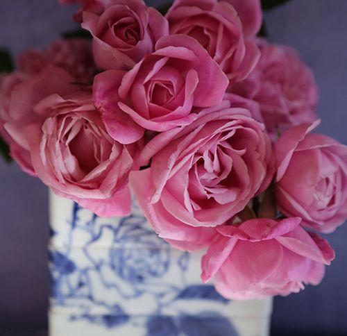 Hermosa-close-up-rose