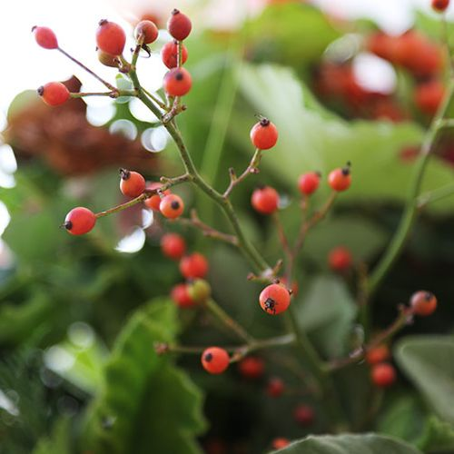 Small-rose-hips