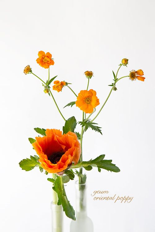 Geum-and-oriental-poppy