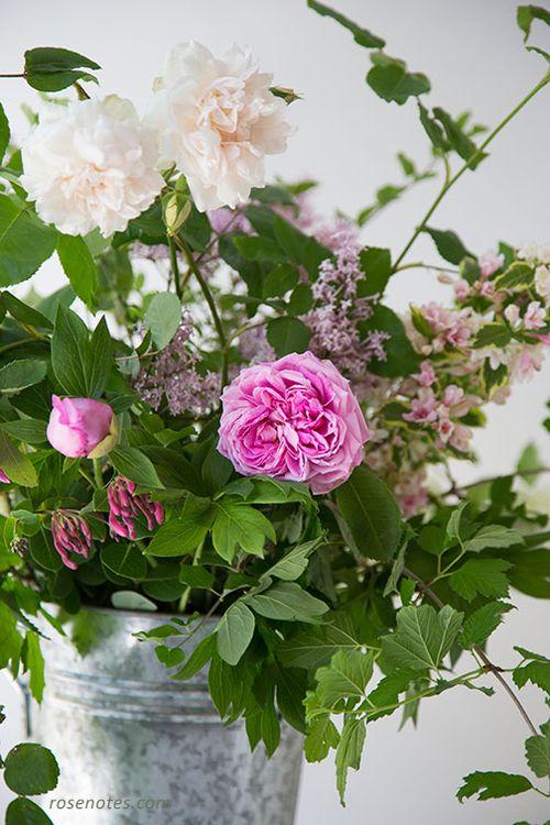 Barbara-Worl-rose