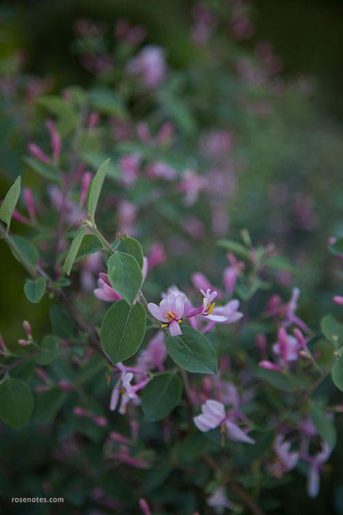 Pink-tartarian-honeysuckle