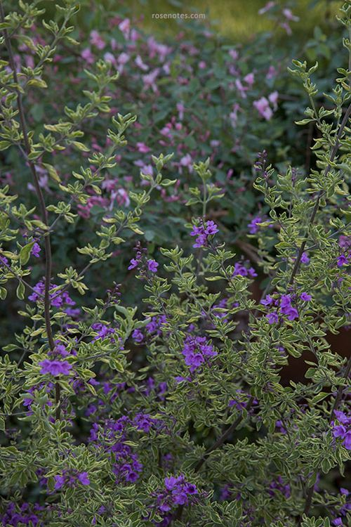 Variegated-mint-bush
