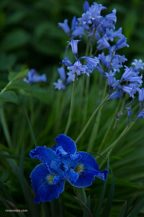 Scilla-and-native-iris