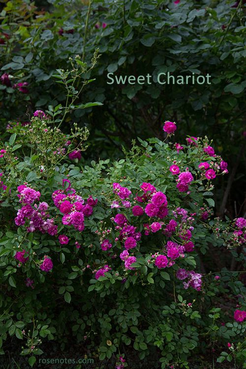 Sweet-chariot-rose