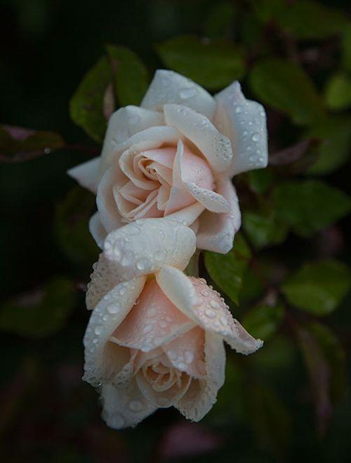 Safrano-tea-rose